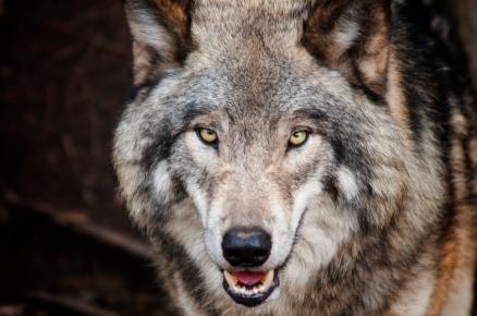 Large Wolf head On
