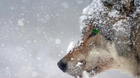 WolfSnow